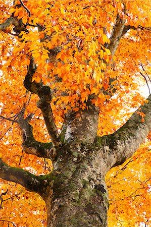 represented - Autumn colors, Aomori Prefecture, Japan Stock Photo - Premium Royalty-Free, Code: 622-07841341