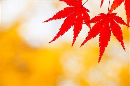 represented - Autumn leaves Stock Photo - Premium Royalty-Free, Code: 622-07841405
