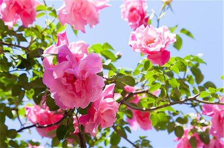 rose - Rose flowers Stock Photo - Premium Royalty-Free, Code: 622-07841592