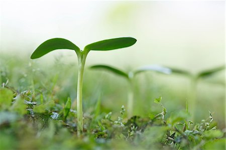 Sprouting leaves Stock Photo - Premium Royalty-Free, Code: 622-07911528
