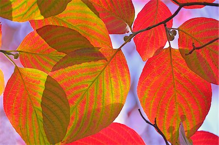 Autumn leaves Stock Photo - Premium Royalty-Free, Code: 622-07911643