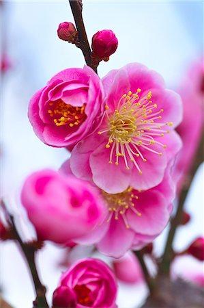 scenic and spring (season) - Plum Blossoms Stock Photo - Premium Royalty-Free, Code: 622-08065142