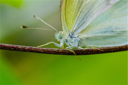 Cabbage Butterfly Stock Photo - Premium Royalty-Free, Code: 622-08065210