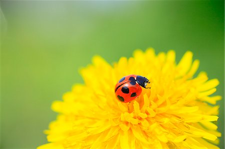 Ladybird Stock Photo - Premium Royalty-Free, Code: 622-08065399