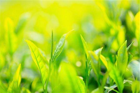 Japanese tea Stock Photo - Premium Royalty-Free, Code: 622-08065434