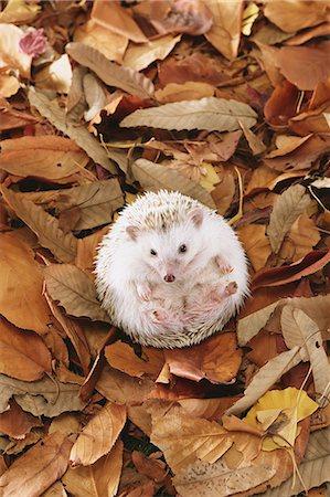 Hedgehog on fallen leaves Stock Photo - Premium Royalty-Free, Code: 622-08519677