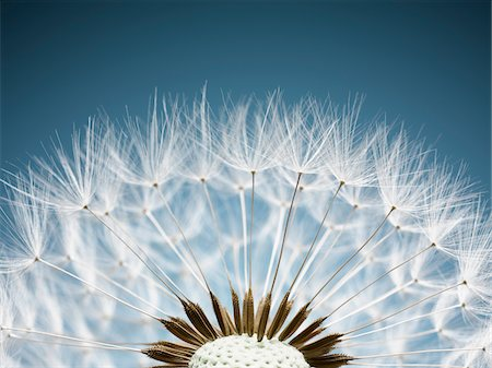 Close up of dandelion spores Stock Photo - Premium Royalty-Free, Code: 635-05550024