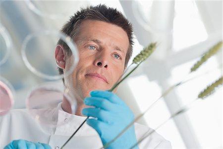 Scientist examining wheat stalks Stock Photo - Premium Royalty-Free, Code: 635-05550694