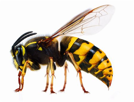 Close up of wasp Stock Photo - Premium Royalty-Free, Code: 635-05551084