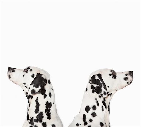 Dalmatians looking in opposite directions Stock Photo - Premium Royalty-Free, Code: 635-05551107