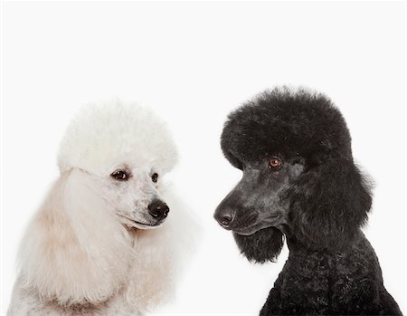 Poodles examining each other Stock Photo - Premium Royalty-Free, Code: 635-05551127