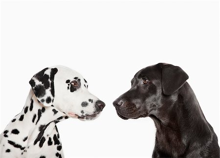 Dalmatians examining each other Stock Photo - Premium Royalty-Free, Code: 635-05551137