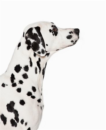spotted - Silhouette of Dalmatian's face Stock Photo - Premium Royalty-Free, Code: 635-05551144