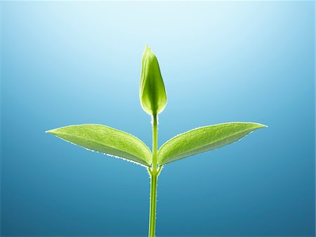 Delicate green seedling Stock Photo - Premium Royalty-Free, Code: 635-05651402