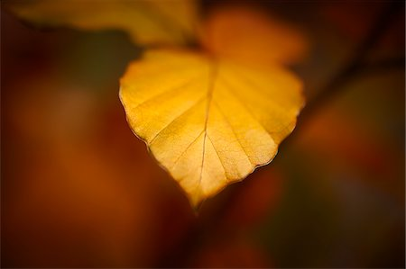 Close up of autumn leaf Stock Photo - Premium Royalty-Free, Code: 635-05972257