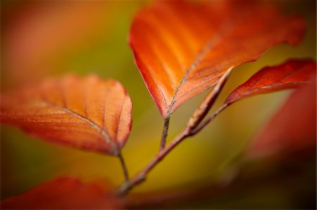Close up of autumn leaves Stock Photo - Premium Royalty-Free, Code: 635-05972252