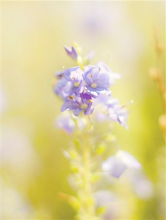 floral - Close up of blue flowers Stock Photo - Premium Royalty-Free, Code: 635-05972288