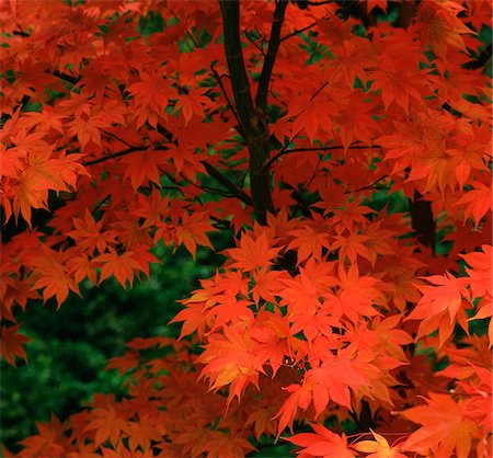 Close up of red autumn leaves Stock Photo - Premium Royalty-Free, Code: 635-05972837