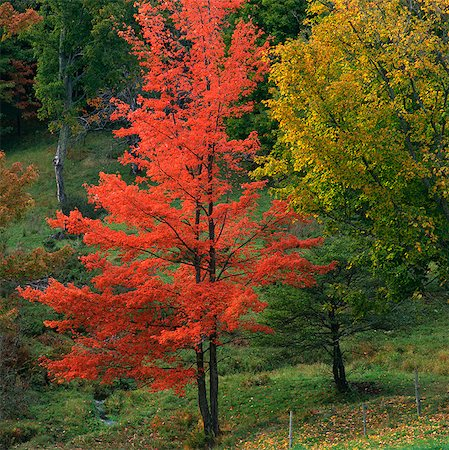 Red autumn tree in rural forest Stock Photo - Premium Royalty-Free, Code: 635-05972863