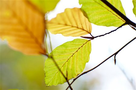 foliage - Close up of autumn leaves Stock Photo - Premium Royalty-Free, Code: 635-06045607
