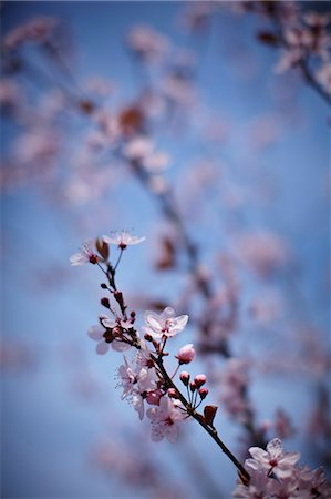 floral - Close up of pink cherry blossoms on tree Stock Photo - Premium Royalty-Free, Code: 635-06045608
