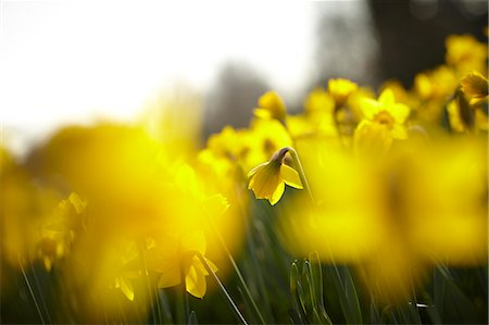 focus on background - Close up of yellow daffodils Stock Photo - Premium Royalty-Free, Code: 635-06045618