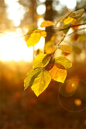 foliage - Sun shining on autumn leaves on branch Stock Photo - Premium Royalty-Free, Code: 635-06045619