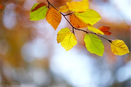 foliage - Close up of autumn leaves on branch Stock Photo - Premium Royalty-Free, Code: 635-06045613