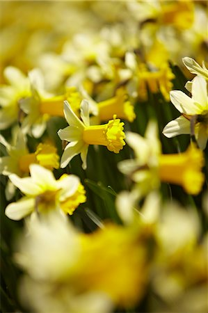 spring background - Close up of yellow daffodils Stock Photo - Premium Royalty-Free, Code: 635-06045623