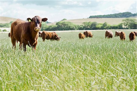 Cows standing in meadow Stock Photo - Premium Royalty-Free, Code: 635-03373070