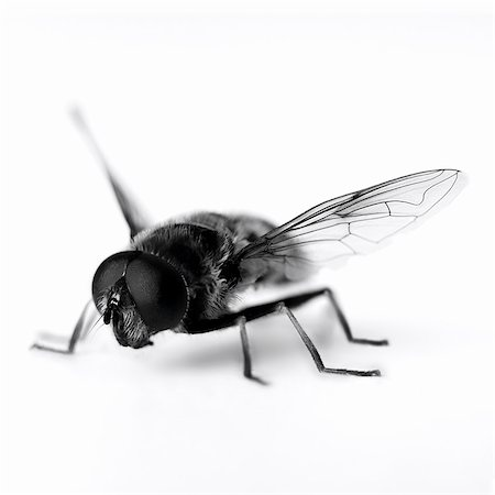silhouette black and white - Close up of black and white hoverfly Stock Photo - Premium Royalty-Free, Code: 635-03373165
