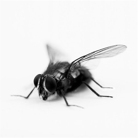 silhouette black and white - Close up of black and white blue bottle fly Stock Photo - Premium Royalty-Free, Code: 635-03373167
