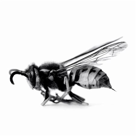 Close up of black and white wasp Stock Photo - Premium Royalty-Free, Code: 635-03373160