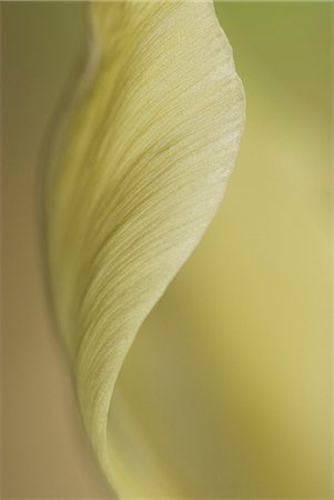 petal - Close up of pale tulip Stock Photo - Premium Royalty-Free, Code: 635-03457555