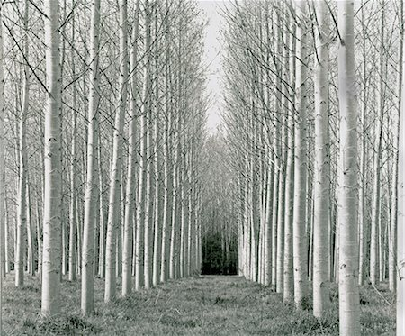 Bare, white-trunked trees Stock Photo - Premium Royalty-Free, Code: 635-03457721