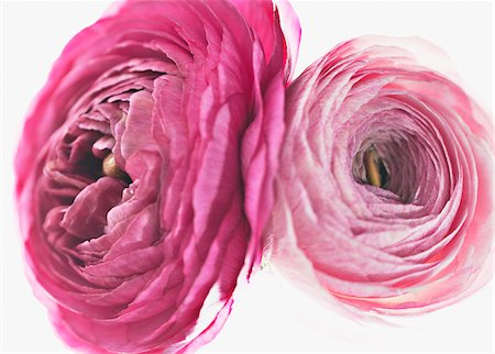 floral - Close up of pink ranunculus Stock Photo - Premium Royalty-Free, Code: 635-03577539