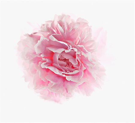 peony - Close up of pink peony Stock Photo - Premium Royalty-Free, Code: 635-03577532