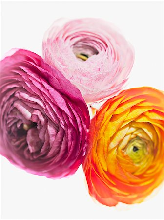floral - Close up of vibrant ranunculus Stock Photo - Premium Royalty-Free, Code: 635-03577540