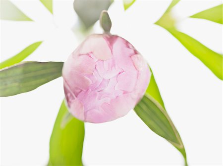 floral patterns peony - Close up of pink peony ready to bloom Stock Photo - Premium Royalty-Free, Code: 635-03577541