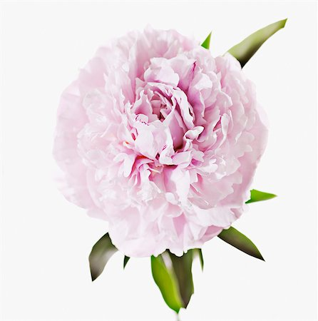 floral patterns peony - Close up of pink peony Stock Photo - Premium Royalty-Free, Code: 635-03577543