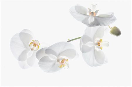 floral - White orchids on stem Stock Photo - Premium Royalty-Free, Code: 635-03577552