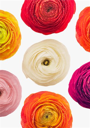 floral - Multicolor ranunculus Stock Photo - Premium Royalty-Free, Code: 635-03577580