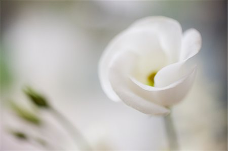 floral - Close up of white flower Stock Photo - Premium Royalty-Free, Code: 635-03577603