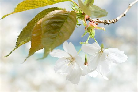 floral - Close up of white flowers on branch Stock Photo - Premium Royalty-Free, Code: 635-03577641