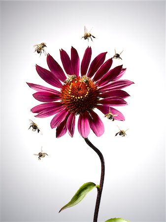 Bees flying around blooming flower Stock Photo - Premium Royalty-Free, Code: 635-03685738