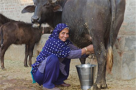 Woman milking a Water Buffalo (Bubalus Bubalis), Sonipat, Haryana, India Stock Photo - Premium Royalty-Free, Code: 630-06724699