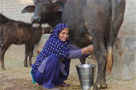 Woman milking a Water Buffalo (Bubalus Bubalis), Sonipat, Haryana, India Stock Photo - Premium Royalty-Free, Code: 630-06724699