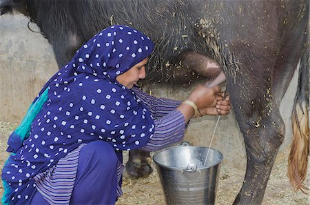 Woman milking a Water Buffalo (Bubalus Bubalis), Sonipat, Haryana, India Stock Photo - Premium Royalty-Free, Code: 630-06724700