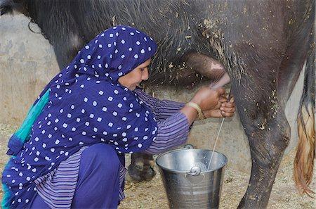 Woman milking a Water Buffalo (Bubalus Bubalis), Sonipat, Haryana, India Stock Photo - Premium Royalty-Free, Code: 630-06724700