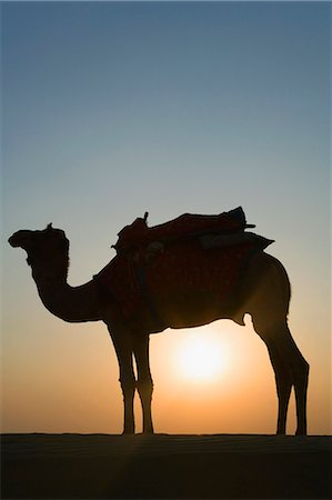 rajasthan camel - Silhouette of a camel standing, Jaisalmer, Rajasthan, India Stock Photo - Premium Royalty-Free, Code: 630-03479125